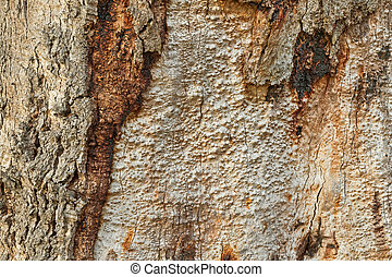 Closeup background photo of texture of old and dry tree bark of Gum tree