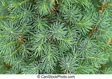 Closeup texture of young Dwarf Pine Tree leaves in green...