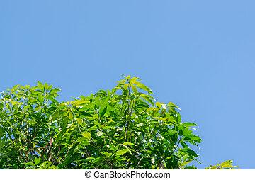 leaves of mango tree