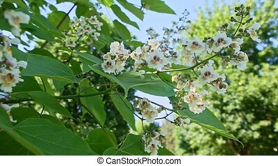 closeup tree branch with white blossom flowers in springtime