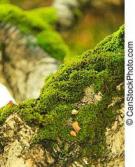 Closeup tree covered with green moss. Outdoor.