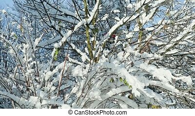 closeup tree tops covered with white snow - bright winter...