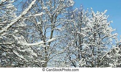 closeup tree tops covered with white snow - closeup tree...