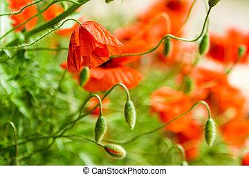 closeup, van, rood, klaprozen, in, zomer
