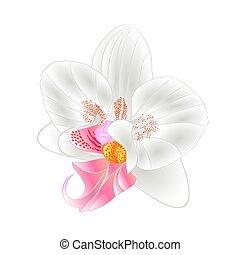 closeup, vektor, phalaenopsis, orchidee, weißes