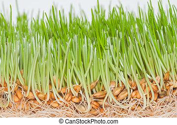 closeup, verde, primavera, capim, com, raizes