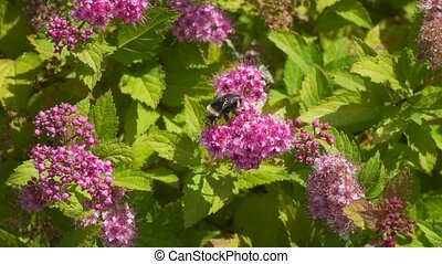 Ultra high definition 4k closeup movie of bumble bees pollinating Spirea plant with blooming pink flowers in garden summer season Portland Oregon