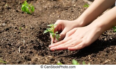 Closeup footage of female and planting small green plant sprout in hole at fertilized soil on field. Concept of healthy nutrition, bringing new life and protecting nature. Planting organic vegetables