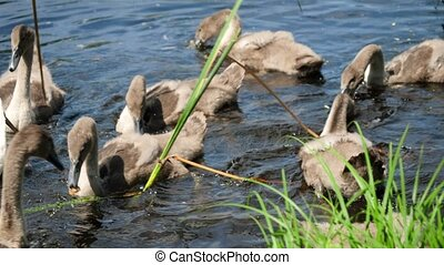 Closeup footage of grey small baby swans swimmming in pond and eating bread