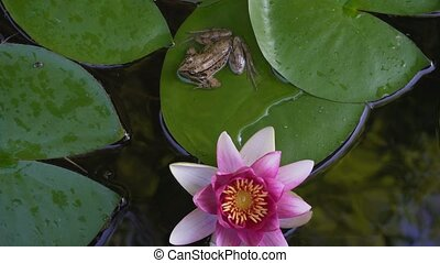 Closeup video of Pacific chorus tree frog on waterlily pad...