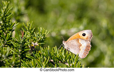 Closeup view of a butterfly on rosemary twig in spring