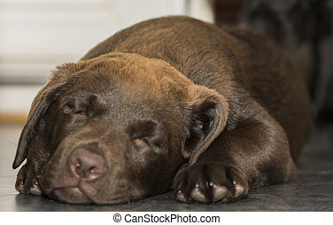 Closeup view of a sleeping Chocolate Labrador puppy