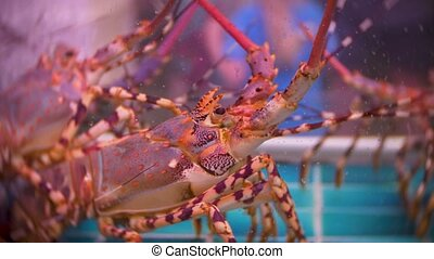 Closeup view of alive sea inhabitants in special containers with water. fish market. Lobsters in the restaurant aquarium tank for sale to diners.