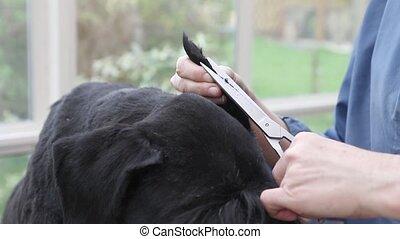 Closeup view of cutting the dog ear by scissors - Closeup...