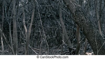 Closeup view of dead trees in dark forest POV, somebody lost...