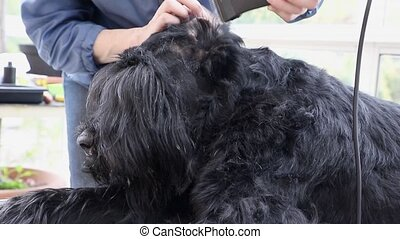 Closeup view of grooming inside the ear of the dog