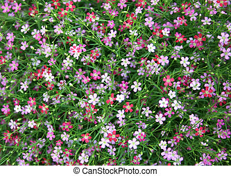 closeup view of gypsophila flower