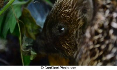 Closeup view of head of cute hungry hedgehog eating in the...