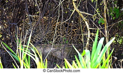 Closeup view of Jaguar licking itself in Pantanal riverbank, Brazil