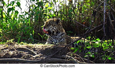 Closeup view of Jaguar resting in Pantanal riverbank, Brazil