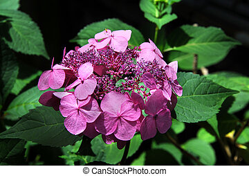 Closeup View of Pink Hydrangea - Closeup view of a pink ...