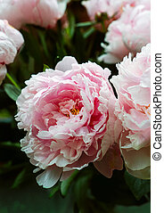Closeup view of pink peonies in bouquet