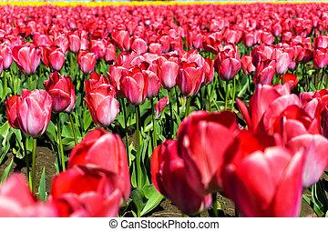 Closeup View of Tulips