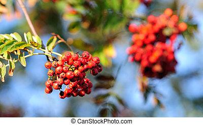 Closeup view to the red rowan tree.