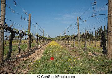 Closeup, vineyard rows in spring.