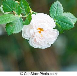 closeup, von, a, ledig, weiße rose, blüte