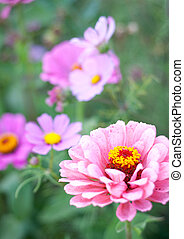 closeup, von, a, rosa, crysantheme, blüte