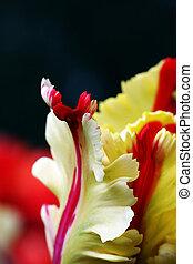closeup, von, a, tulpenblüte