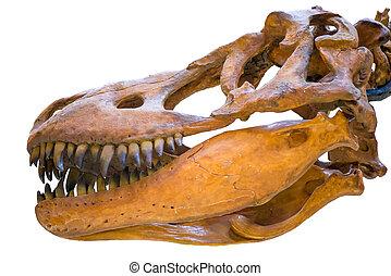 closeup, von, der, totenschädel, von, tyrannosaurus rex, freigestellt