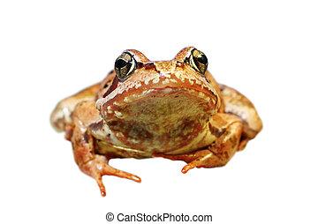 closeup, von, europäische , gewöhnlicher frosch, aus, weißes