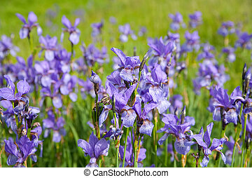 iris pflanze iris nahaufnahme pflanze. Black Bedroom Furniture Sets. Home Design Ideas