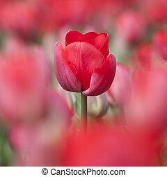 closeup, von, rote tulpe, in, niederländisch, blume, feld, unter, andere, tulpen