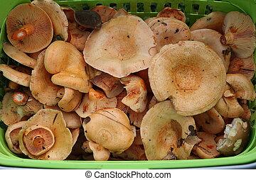 closeup, wald, schnitt, mushrooms., frische pilze