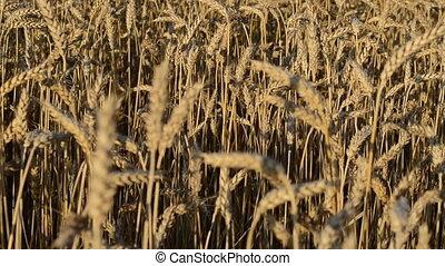 closeup wheat  autumn