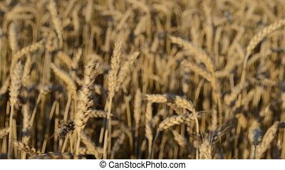 closeup wheat field