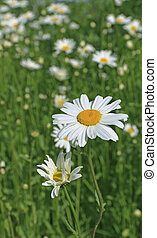 Closeup white daisies on a meadow