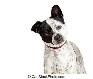 Closeup White Dog Black Spots Tilting Head