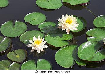 white lotus - Closeup white lotus flower in the lake