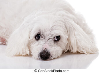 closeup white maltese dog lying and with sad eyes looking aside