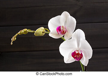 Closeup white orchid Phalaenopsis cultivars hybrid flower
