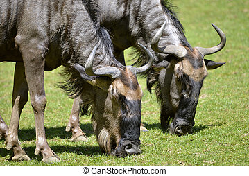 closeup, wildebeest azul, pastar