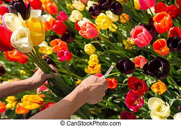 closeup woman hands cutting a bunch of tulips on a flower field