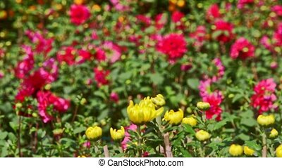 Closeup Yellow Red Chrysanthemums by Mandarin Trees -...