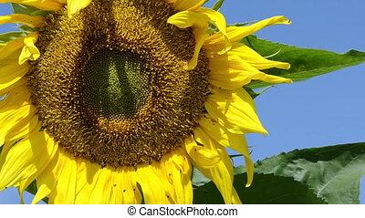 sunflower - closeup yellow sunflower head move in wind on...