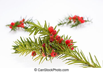 Closeup yew twig with fruits isolated
