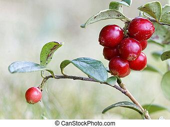 closeup, zweig, lingonberry